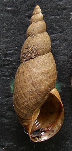 Lymnaea palustris. Фото 92