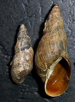Lymnaea palustris. Фото 94