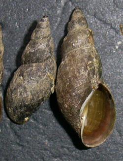 Lymnaea palustris. Фото 96