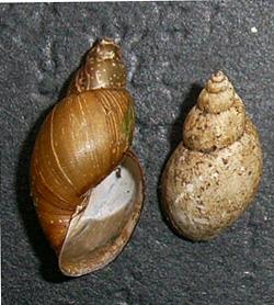 Lymnaea palustris. Фото 98