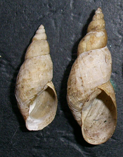 Lymnaea palustris. Фото 100