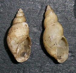 Lymnaea palustris. Фото 102