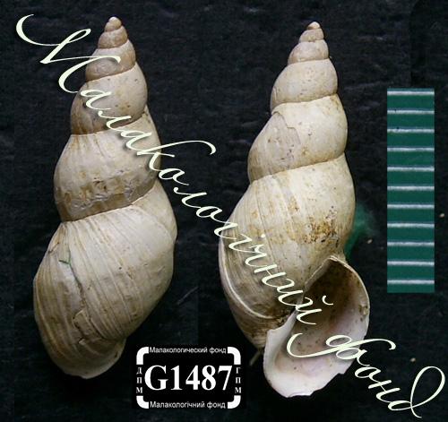 Lymnaea palustris. Фотография 103