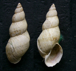 Lymnaea palustris. Фото 104