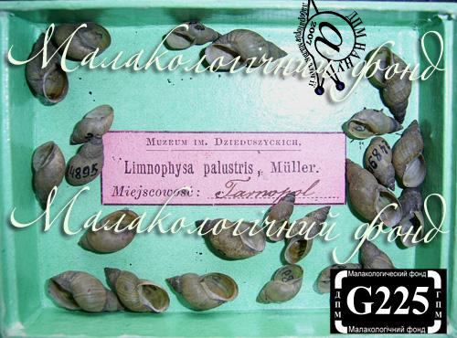 Lymnaea palustris. Фотография 5