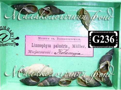 Lymnaea palustris. Фотография 11