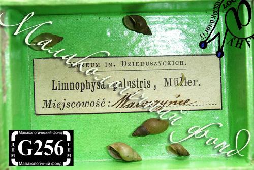 Lymnaea palustris. Фотография 17