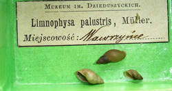 Lymnaea palustris. Фото 18