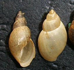Lymnaea palustris. Фото 20