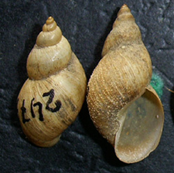Lymnaea palustris. Фото 26