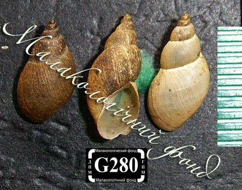 Lymnaea palustris. Фотография 27