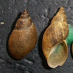 Lymnaea palustris. Фото 28