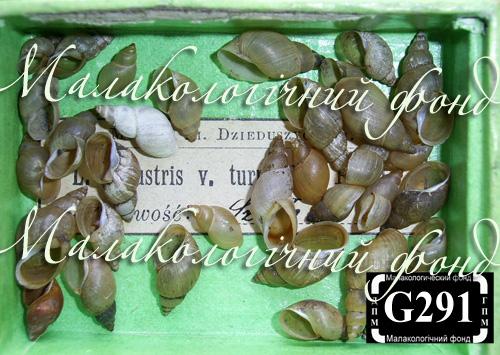 Lymnaea palustris. Фотография 29
