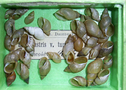 Lymnaea palustris. Фото 30