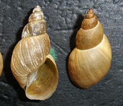 Lymnaea palustris. Фото 32