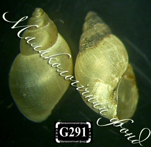 Lymnaea palustris. Фотография 33