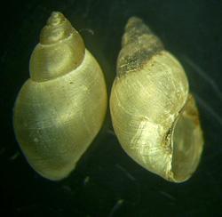 Lymnaea palustris. Фото 34
