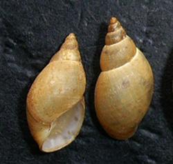 Lymnaea palustris. Фото 36