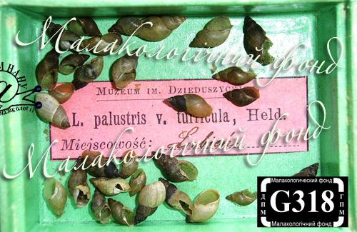 Lymnaea palustris. Фотография 37