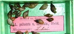 Lymnaea palustris. Фото 38