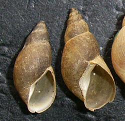 Lymnaea palustris. Фото 40