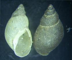 Lymnaea palustris. Фото 42