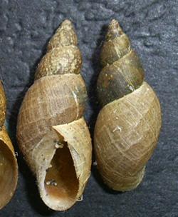 Lymnaea palustris. Фото 44