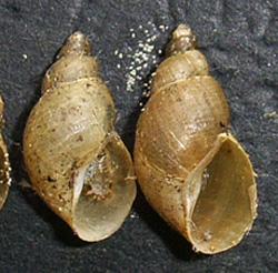 Lymnaea palustris. Фото 46