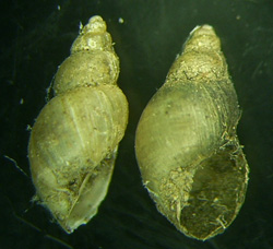 Lymnaea palustris. Фото 48
