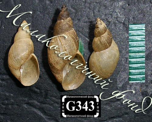 Lymnaea palustris. Фотография 51