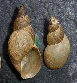 Lymnaea palustris. Фото 52