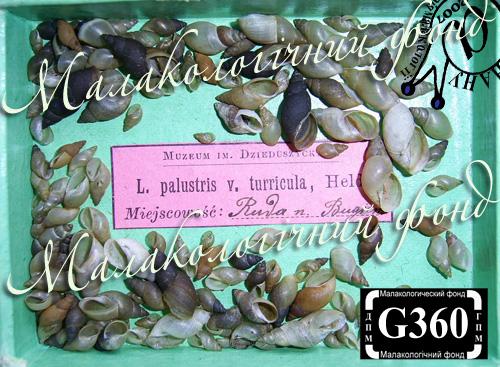 Lymnaea palustris. Фотография 53