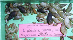 Lymnaea palustris. Фото 54