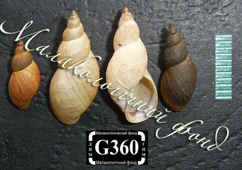 Lymnaea palustris. Фотография 55