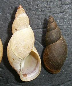 Lymnaea palustris. Фото 56