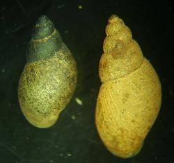 Lymnaea palustris. Фото 58