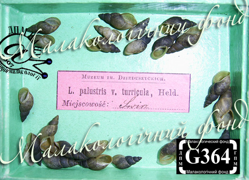 Lymnaea palustris. Фотография 59