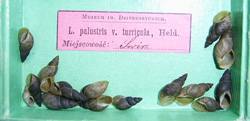 Lymnaea palustris. Фото 60