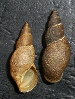 Lymnaea palustris. Фото 62