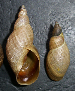 Lymnaea palustris. Фото 64