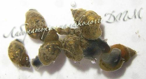 Lymnaea truncatula. Фотография 14