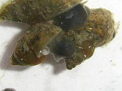L. truncatula. Фотография 19