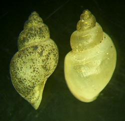 L. truncatula. Фото 40