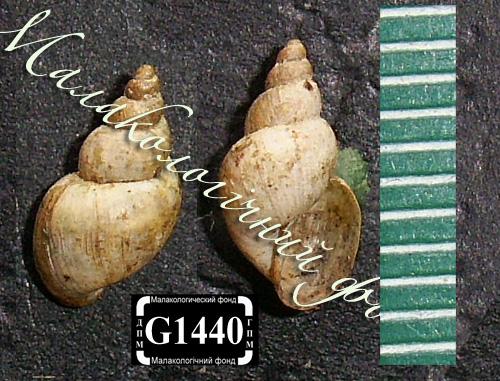Lymnaea truncatula. Фотография 41