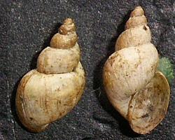 L. truncatula. Фото 42