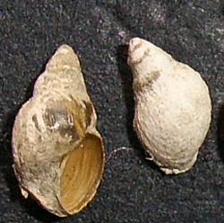 L. truncatula. Фото 44