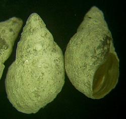 L. truncatula. Фото 46