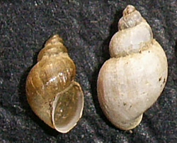 L. truncatula. Фото 48