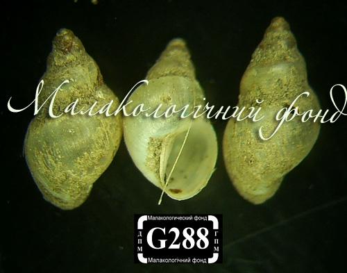 Lymnaea truncatula. Фотография 9
