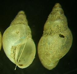 L. truncatula. Фото 10